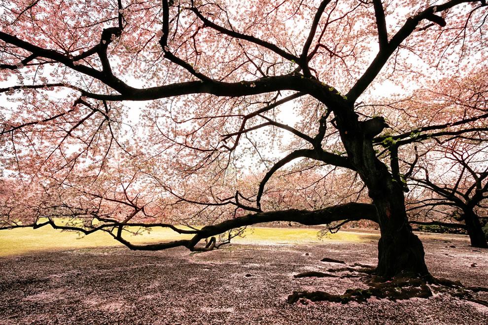 Massive blooming Sakura tree