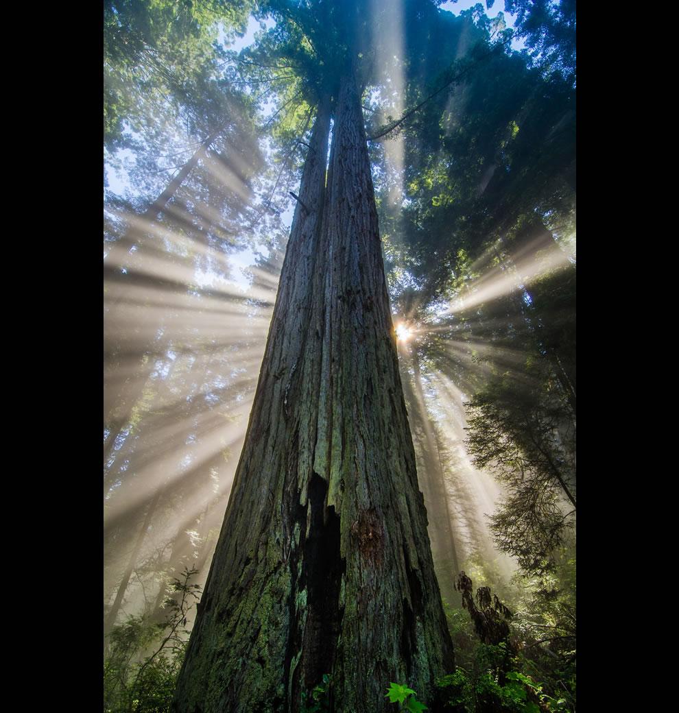 Redwood Starburst, light rays, fog and giant redwoods