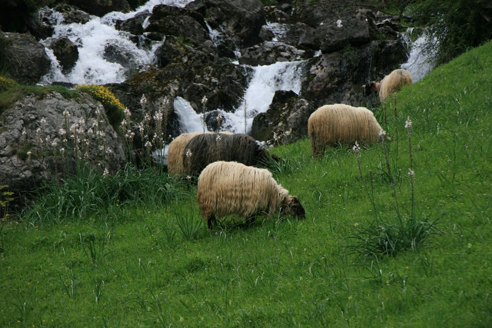 Sheep seen while hiking along the divine gorge, Ruta Del Cares
