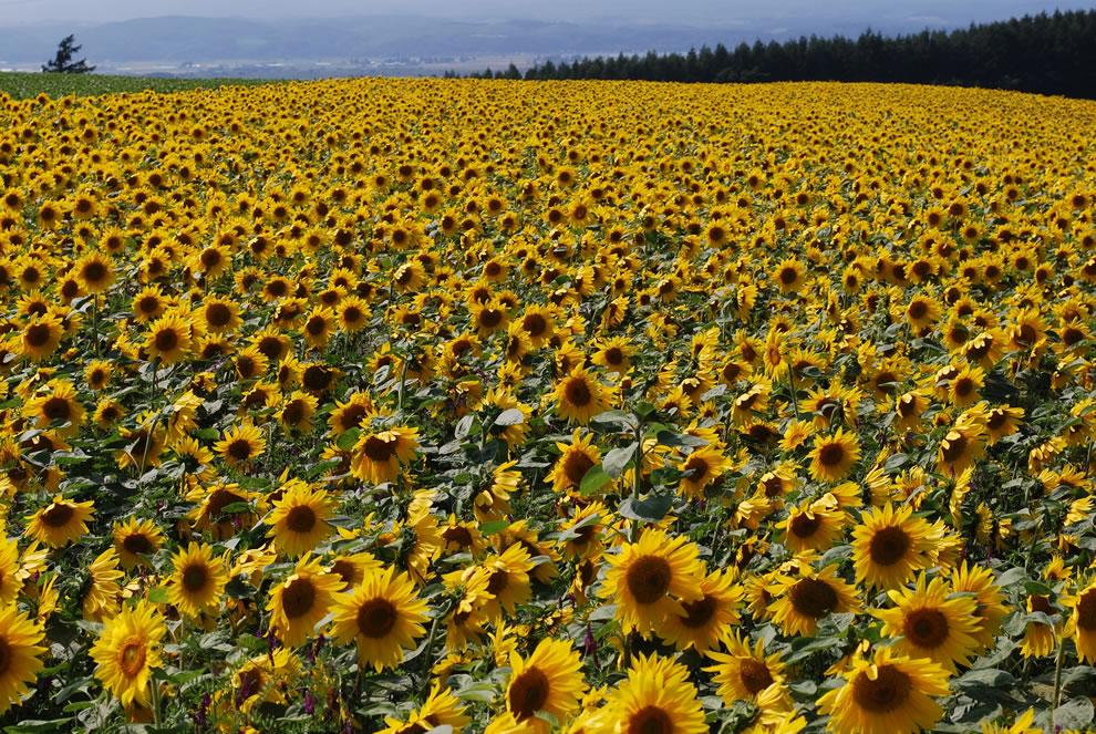 Sunflower field at Asahigaoka tenbodai