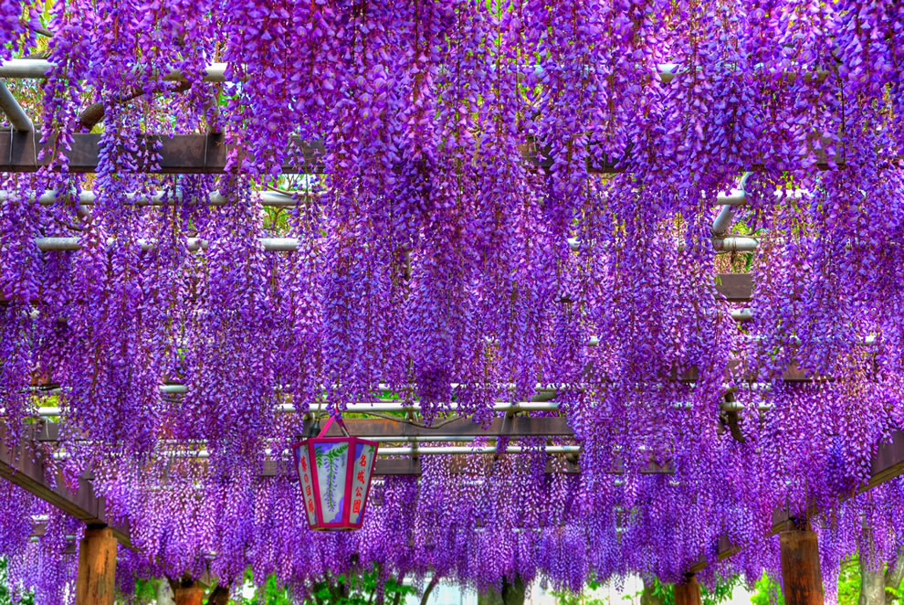 Wisteria canopy (HDR) at Nagoya-shi, Aichi Prefecture, Japan