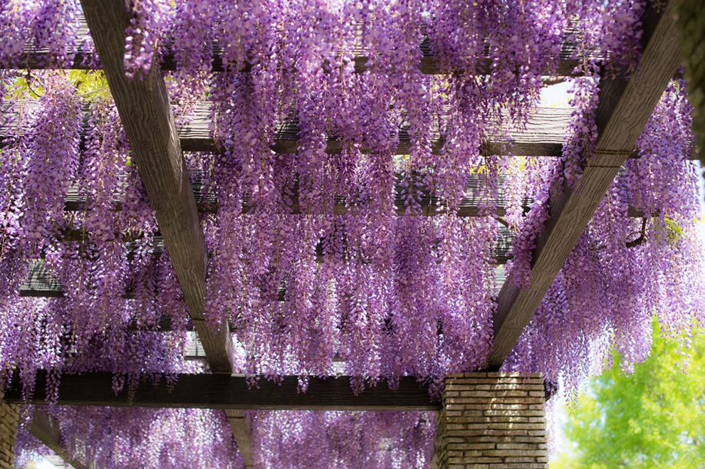Wisteria in Showa Kinen Park