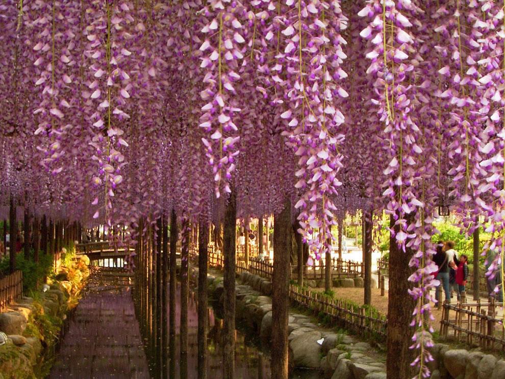 Wisteria spring in Japan