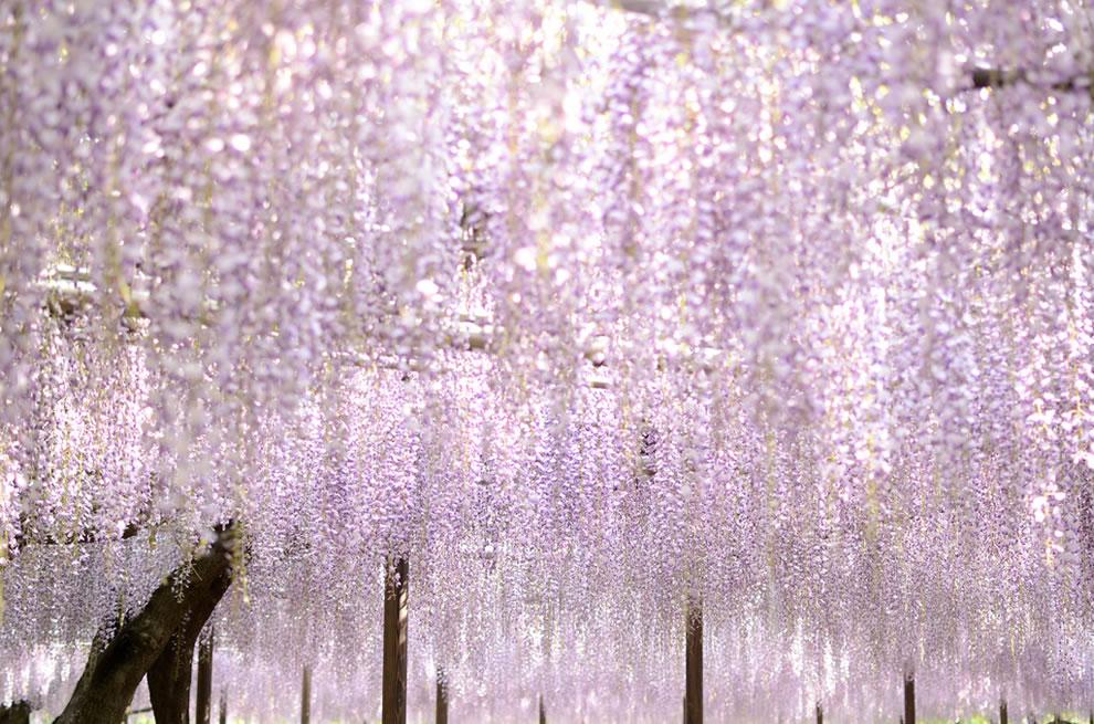Wisteria trellis at Okazaki, Japan