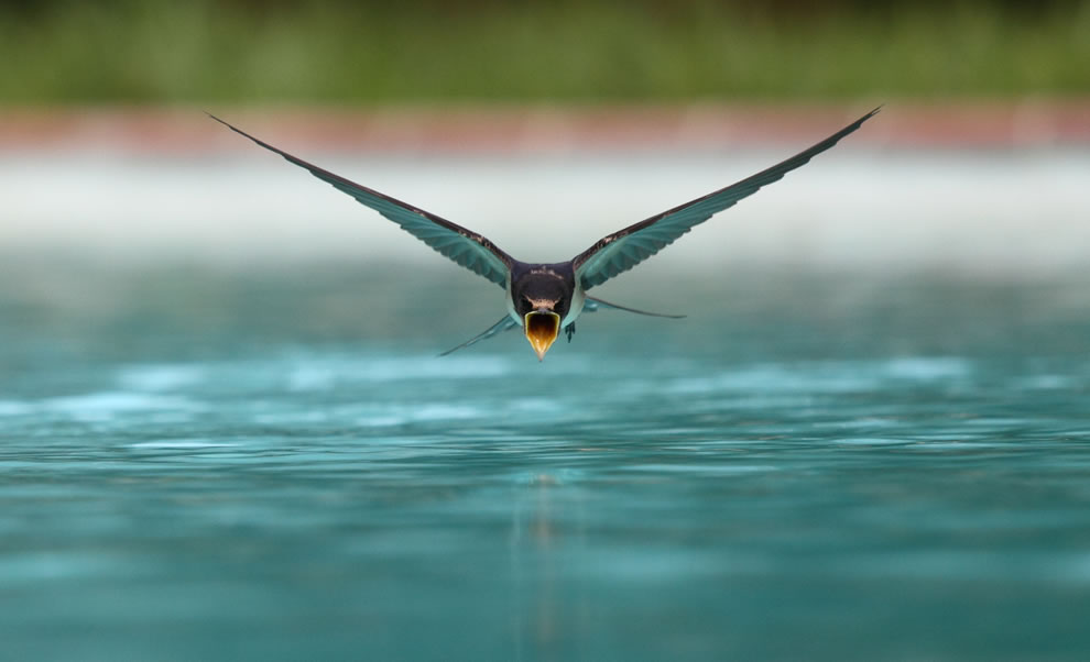 3rd place Picture of the Year winner, swallow drinking while flying over a swimming pool
