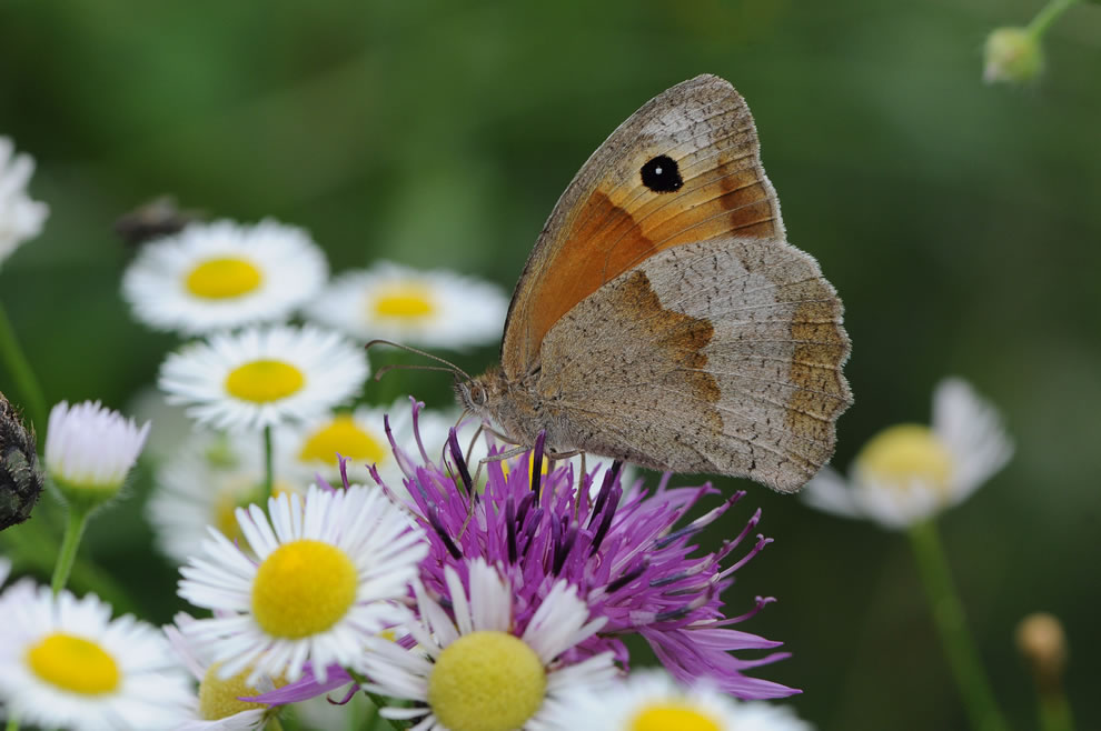 A male Meadow Brown butterfly (Maniola jurtina) as seen in the Rhine Valley of Switzerland