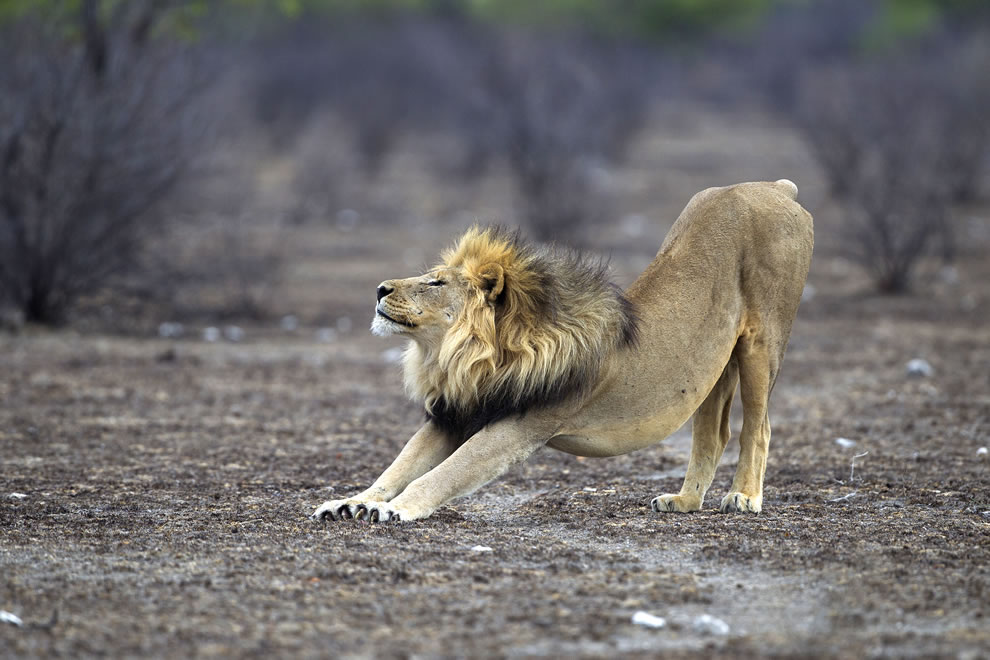 Adult male lion of the Okondeka pride stretching in Etosha National Park