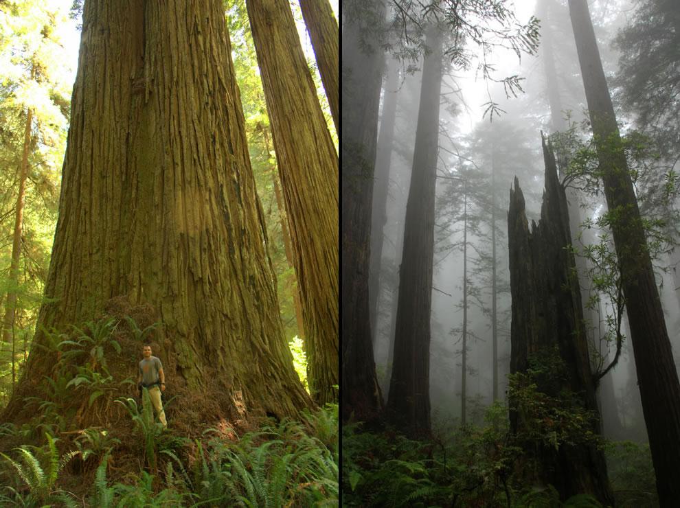 Del Norte Titan, Screaming Titans in the secret Grove of the Titans and foggy Del Norte Coast Redwoods State Park