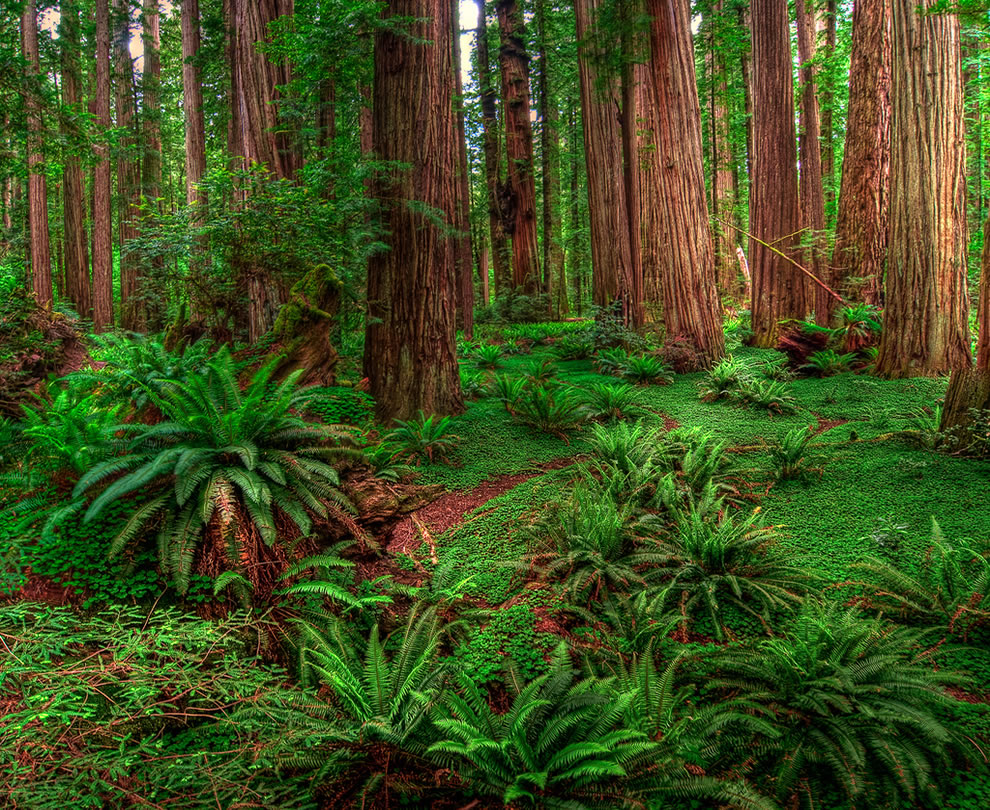 HDR Panoramic shot of Stout Grove, Humboldt County, California