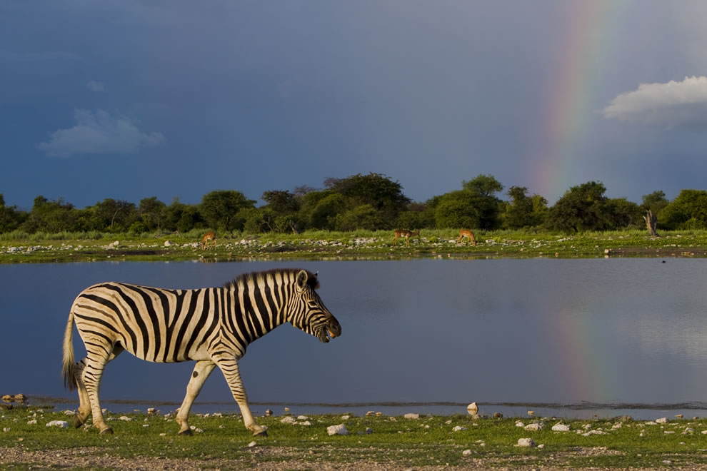 Plains zebra walking at Klein Namutoni with a storm and rainbow in the background, Etosha National Park