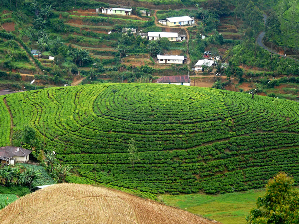 Circular pattern at a tea estate in Sri Lanka