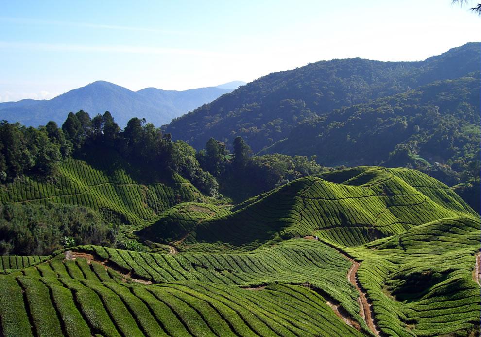 Fields and fields of Tea
