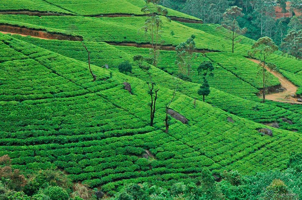 Gentle slopes of a tea estate in the hill country, Nuwara Eliya, Sri Lanka