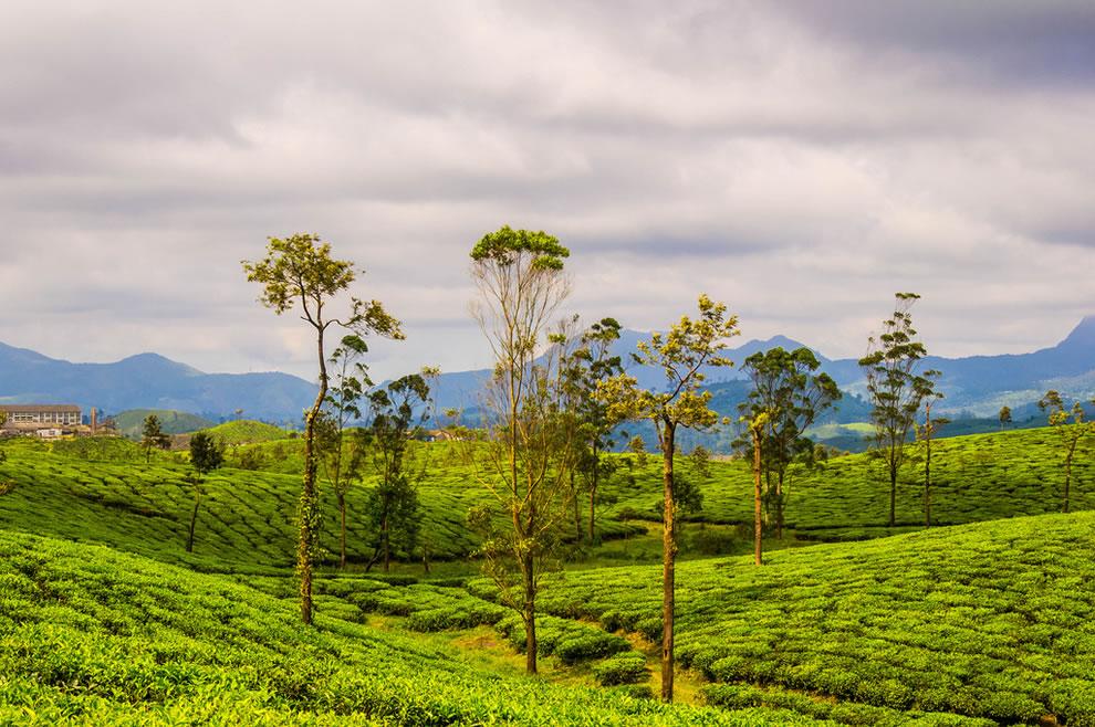 India tea plantation, Nallamudi View Point, Blue Mountains