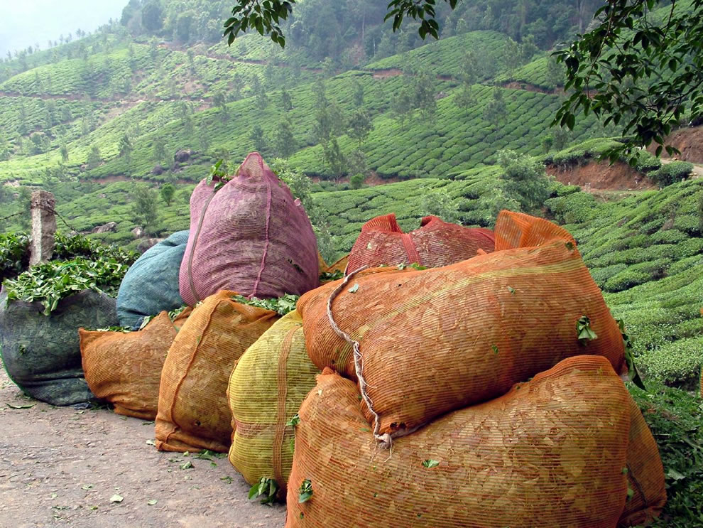 Munnar Tea, Bags of picked tea leaves ready to be taken to the factory