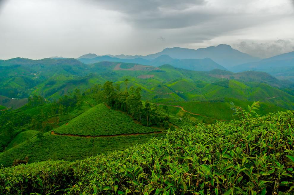 Tea Estate in India