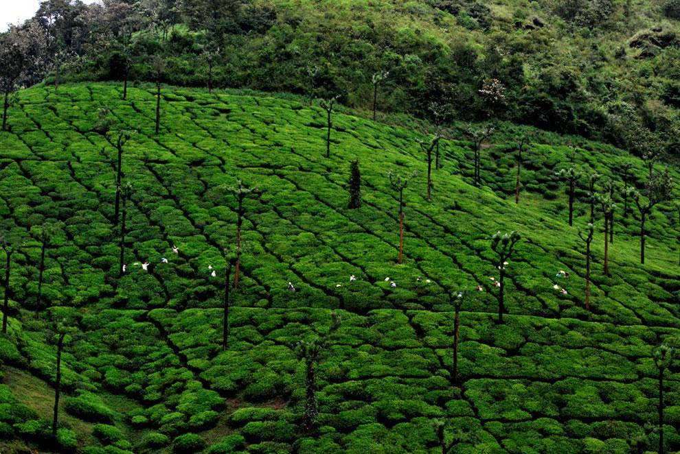 Velvet tea, workers picking tea in Kalasa, India