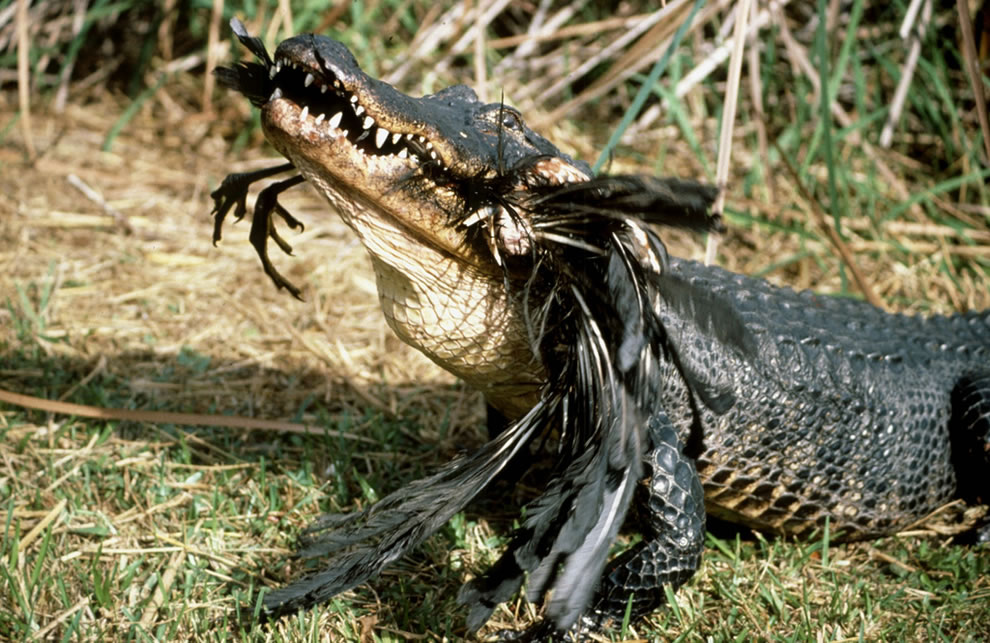 Alligator eating bird Everglades National Park