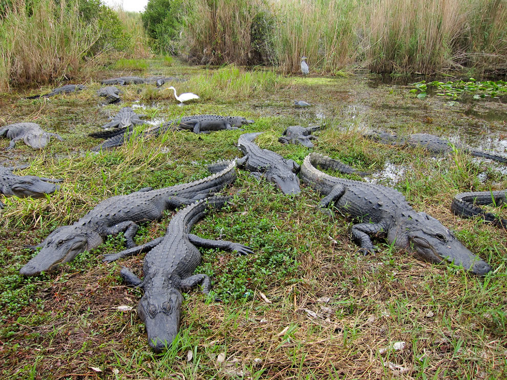 American alligators in Everglades National Park as seen from Anhinga Trail