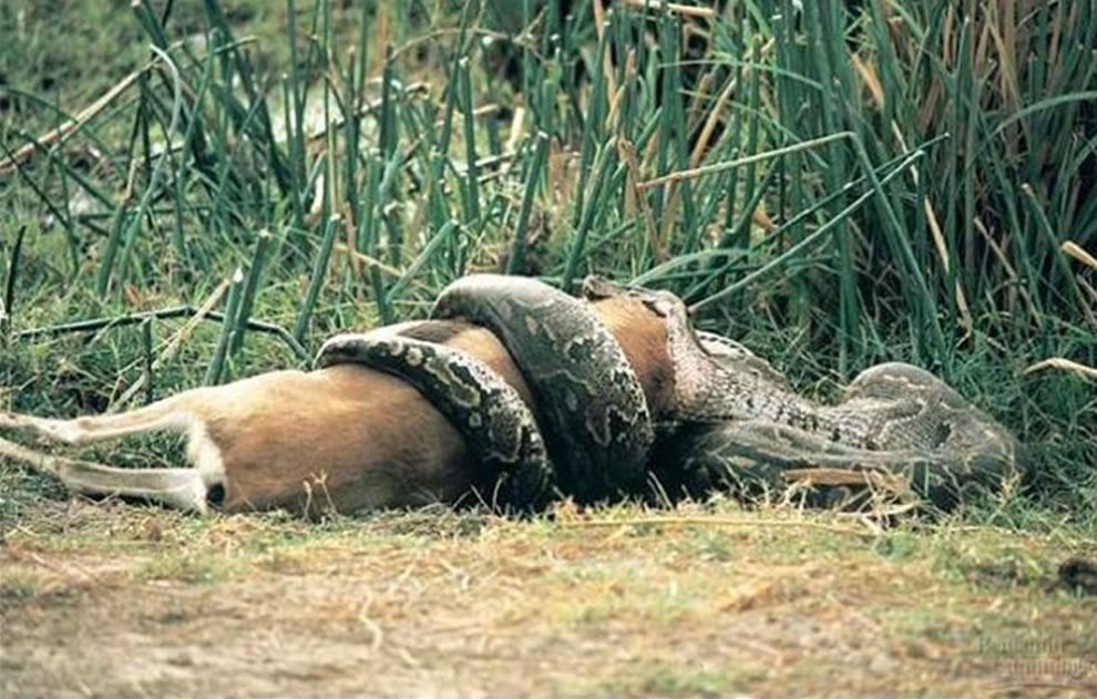 Burmese python eating deer, other Everglades wildlife sparked the great Florida snake hunt