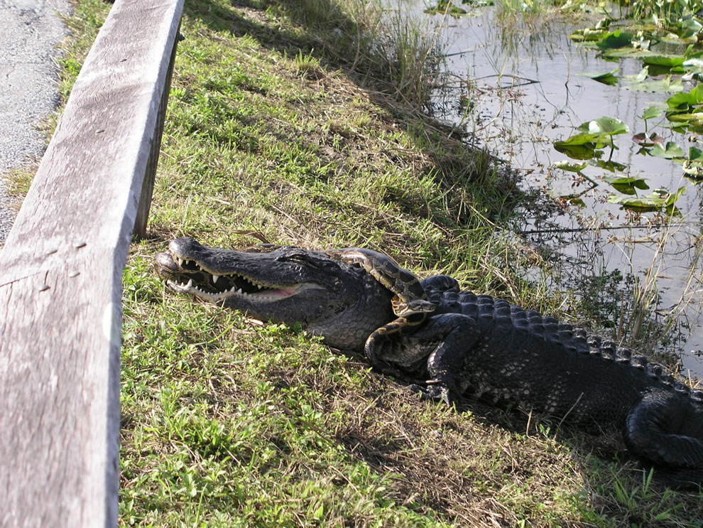 Gator vs python at Everglades National Park