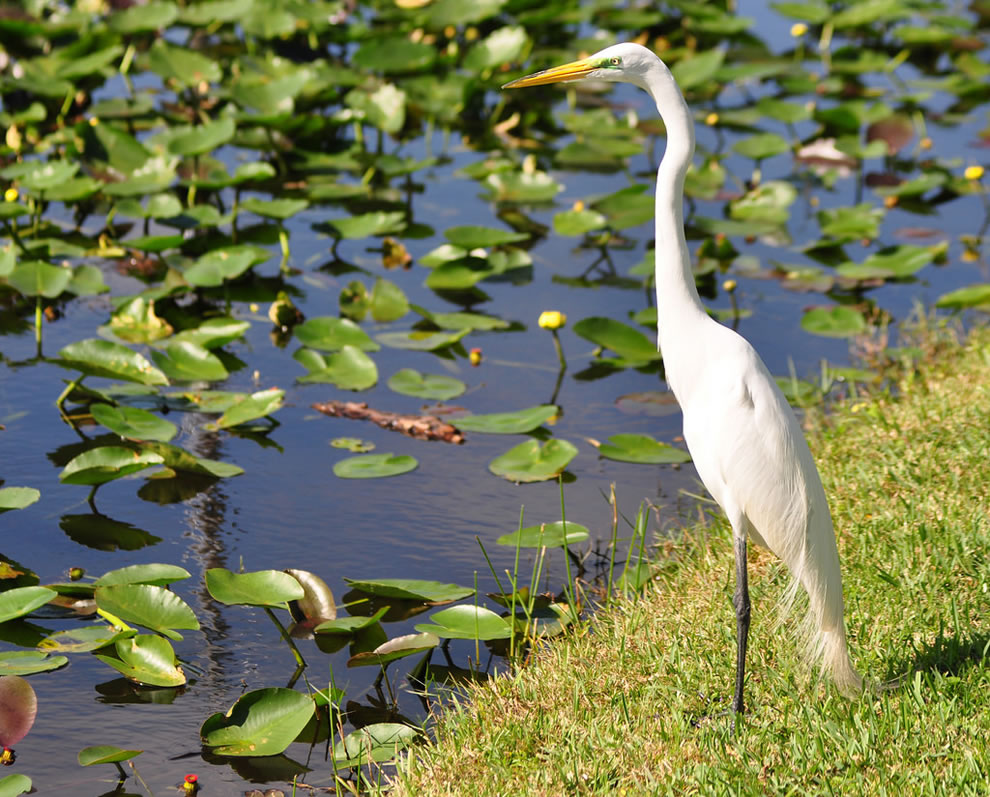 Great Egret in the Everglades