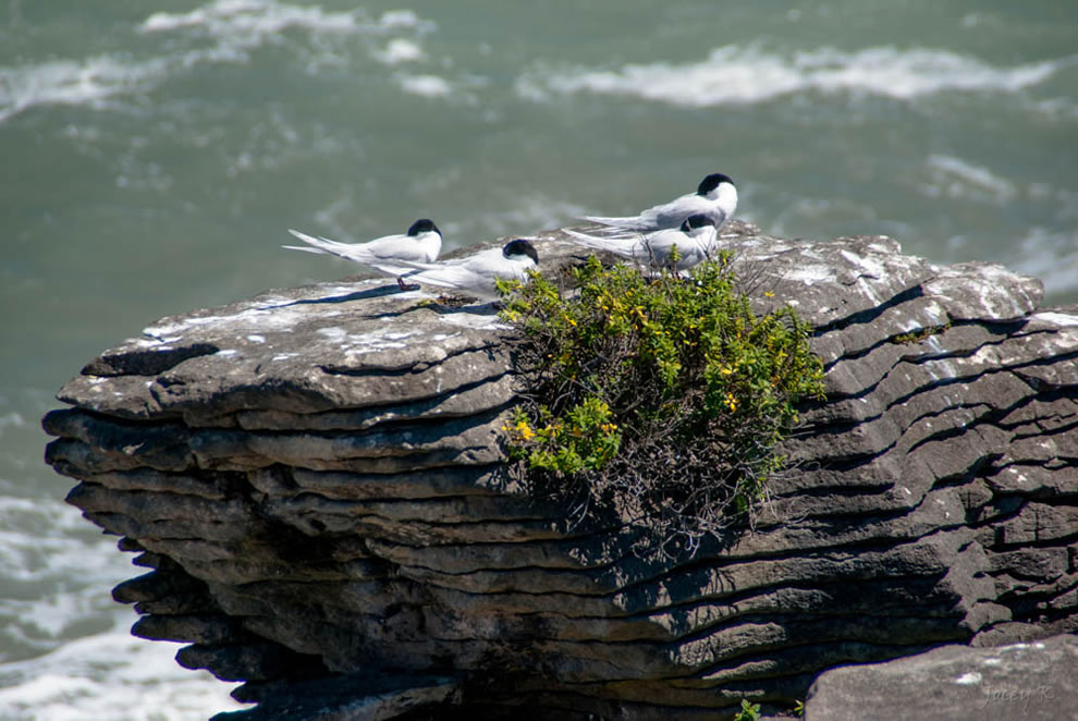 Black-fronted Tern waiting to be fed on the Punakaiki Rocks