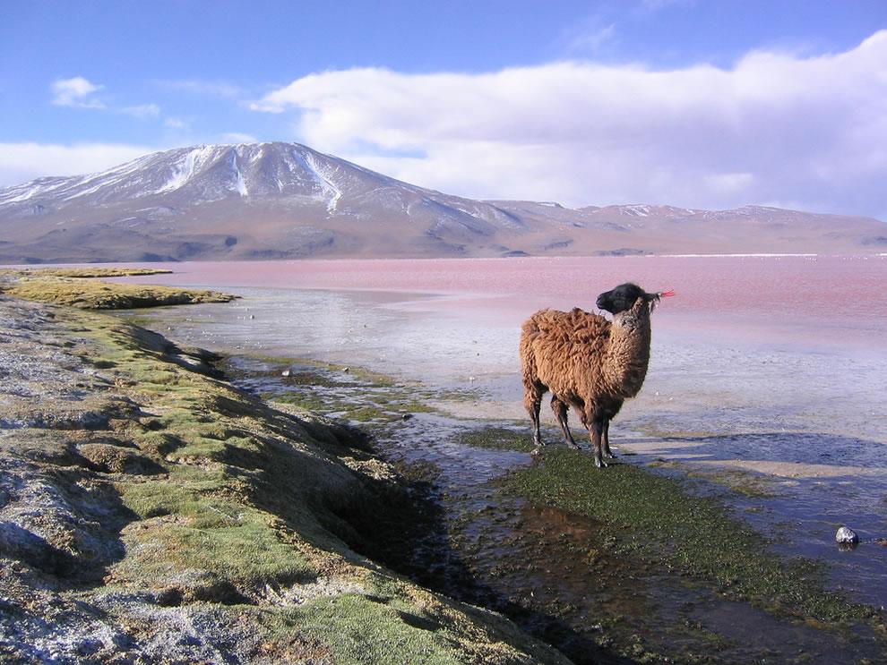 Lama, Red Lagoon Laguna Colorada and Punta Grande