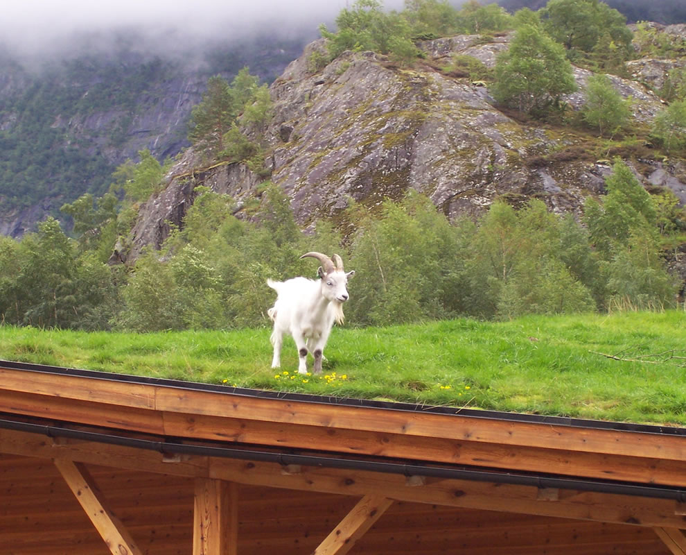 Goat mower of grass roofs