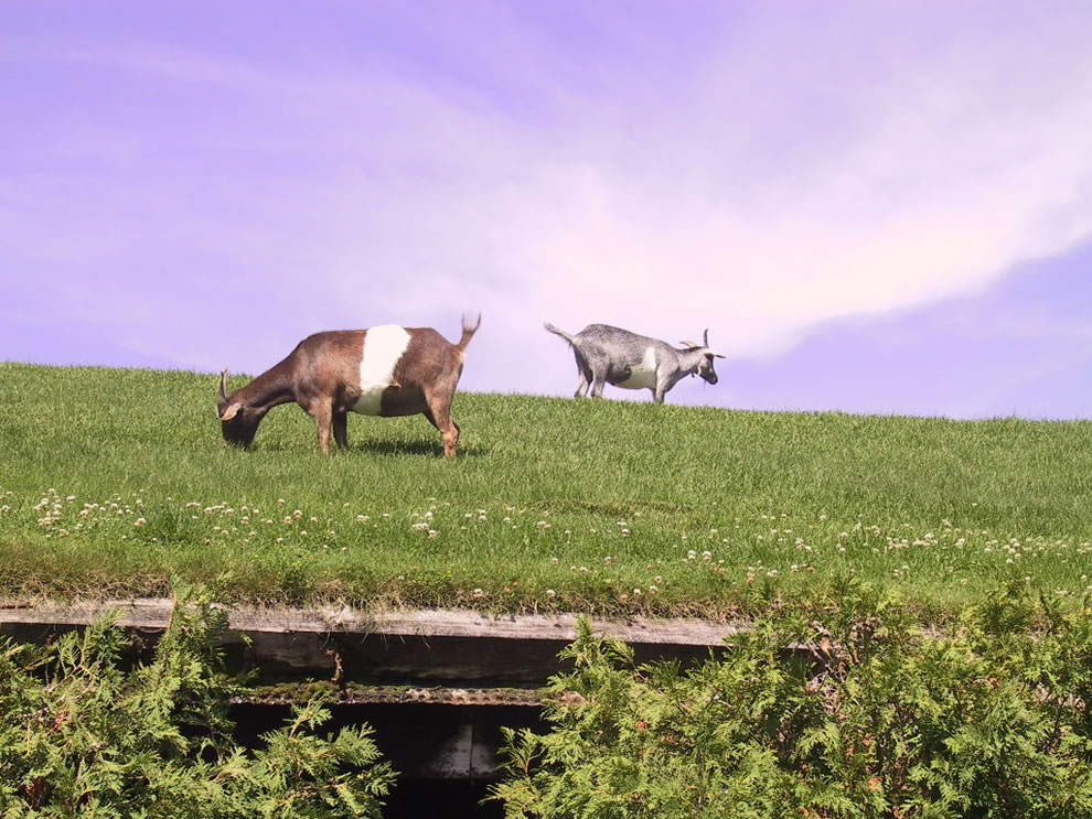 Goats eating the grass on the roof