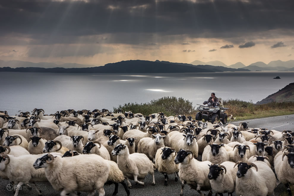 Lord of the sheep on Isle of Skye
